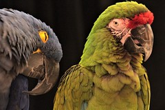 A Couple of.... (catherine4077) Tags: macaws greenmacaw parrot ruffledfeathers parrotsanctuary photoexpo midatlantic