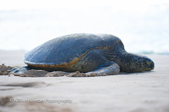 Lazy Day (WilliamMercerPhotography) Tags: greenseaturtlecheloniamydas hawaii nature wild wildlife nikon beach sand seaturtle turtle animal endangered reptile