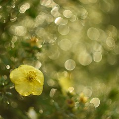 After the rain. (agnieszka.a.morawska) Tags: nikon helios helios44m macro dof light sparkling garden summer aftertherain kwiat bokehlicious bkhq beyondbokeh bokeh flower