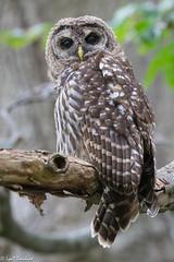 Juvenile Barred Owl (Lyall Bouchard) Tags: barredowl bird kentville minersmarsh novascotia canada ca