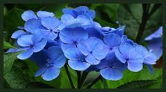 017396 Taken in the Apenheul Apeldoorn The Netherlands C (mensinkr) Tags: garden tuin flowers bloemen macro plant planten apenheul apeldoorn park nature beautiful blue blauw