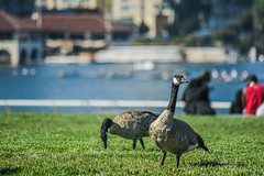 racing spectators (pbo31) Tags: bayarea california nikon d810 color august summer 2018 boury pbo31 oakland lakemerritt eastbay alamedacounty canadiangeese birds depthoffield park grass green people