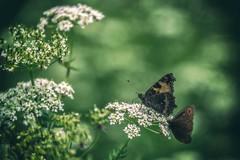 UNIFLONA (Pyc Assaut) Tags: uniflona smileonsaturday papillons montagne vert green fleurs fleur flowers fleuri floraison 2 deux pyc5pyc pyc5pycphotography pycpyc pycassaut pierreyvescugni animus insecte insectes butterfly bokeh unionoffloraandfauna union flora fauna copain compère acolyte amis pote compagnon macro