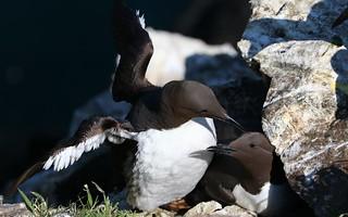 Guillemots -Skomer Island WT -Wales -May18 (4)