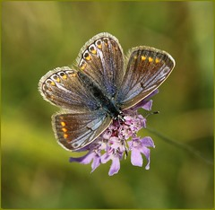 Female Common Blue on Field Scabious (glostopcat) Tags: commonbluebutterfly butterfly insect invertebrate glos august summer macro fieldscabious wildflower butterflyconservation prestburyhillnaturereserve
