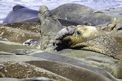 Elephant Seals (Blazing Star 78613) Tags: piedrasblancascalifornia piedrasblancas california seal elephantseal northernelephantseal marinemammal piedras bla piedrasblancaselephantsealrookery sealrookery californiacoast californiahwy1 miroungaangustirostris