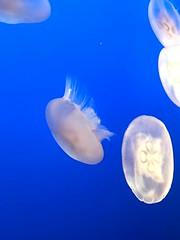IMG_1231 (paschulea) Tags: monterey aquarium