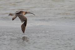Chiurlo maggiore (numenius arquata) (Paolo Bertini) Tags: chiurlo maggiore numenius arquata curlew comacchio po delta birdwatching birding wader flight