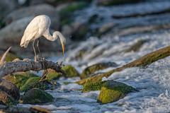 DownwardFacingBird (jmishefske) Tags: 2018 d850 nikon flight burlington echolake bird august wisconsin great egret flying bif fly