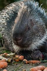 Old World porcupine (titusgaertner) Tags: old world porcupine stachelschwein tierpark zoo nordhorn tierportrait animal