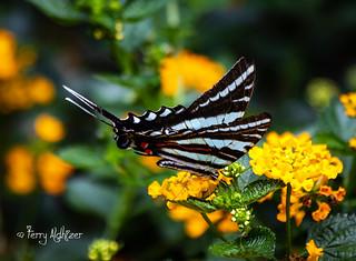 Mill Mountain Zebra Swallowtail