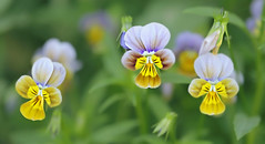 Find beauty in the small things (Through Serena's Lens) Tags: macro botanical dof delicate plant pansy pansies flower blooming bokeh petals nature canoneos6dmarkii 7dwf