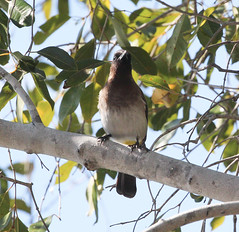 Pycnonotus tricolor (Dark-capped Bulbul) (Arthur Chapman) Tags: pycnonotus tricolor pycnonotustricolor darkcappedbulbul blackeyedbulbul caprivihouseboatsafarilodge zambeziriver zambezi caprivi katimamulilo namibia taxonomy:kingdom=animalia taxonomy:phylum=chordata taxonomy:class=aves taxonomy:order=passeriformes taxonomy:family=pycnonotidae taxonomy:genus=pycnonotus taxonomy:binomial=pycnonotustricolor taxonomy:common=darkcappedbulbul geocode:accuracy=30meters geocode:method=gps geo:country=namibia geo:region=africa