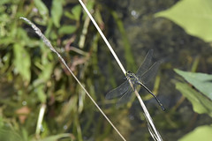 Dragonhunter (malcolmgold) Tags: 2018 canada dragonhunterhageniusbrevistylus lakeofthewoods morson ontario rainyriverdistrict