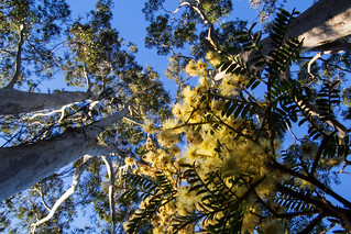 Wattle and sky