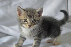 Little one (Lisa M / /) Tags: cat cats kitten kitens baby animal animals animapphotography nikon nikond5100 nikonaustralia nikondslr
