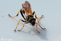 Guêpe maçonne (Jean-Daniel David) Tags: insecte insectevolant guêpe jaune noir macro grosplan closeup nature ombre yverdonlesbains suisse suisseromande vaud fabuleuse excellencedumois