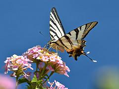 Iphiclides podalirius (explored) (jeanmarie.gradot) Tags: flambé voilier swallowtail papilionidae papilioninae lépidoptère butterfly uniflona smile saturday explored explore