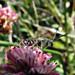 Small bee on buckwheat