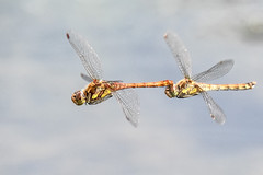 Love is in the air (Paul Wrights Reserved) Tags: dragonfly dragonflies dragonflyinflight dragonfliesinflight insect inflight insects wings mating matinginsects matingdragonflies choochoo conga train