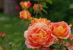 Roses (alph@ wolf) Tags: rose rosegarden flower floral blooming blume blossom bokeh natur naturphotography enjoyment photography pentax photo pentaxart plant pflanze pentaxk1 alphawolf copyright color