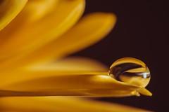 Drop (Window Light Studios) Tags: depthoffield shine 60mm laowa light macro floral flower nikon dof droplet drop water