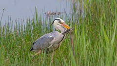 Heron (Mrsbirds (not missing so many now)) Tags: suffolk minsmere eel
