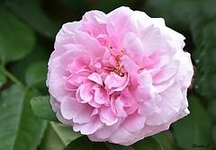 Weekend Rose (Eleanor (No multiple invites please)) Tags: rose pinkrose busheyrosegarden bushey uk nikond7200 june2018