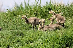 Green Green Grass of Home (PDX Bailey) Tags: baby goosling goose bird green cute washington state