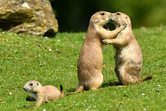 Prairie dog love (Paul Wrights Reserved) Tags: prairiedog love lovers family families mother father child baby standing cuddling eye kiss kissing animal animals animalantics mammal mammals beautiful cute prairiedogs dog dogs
