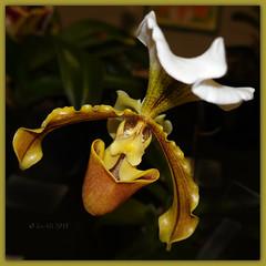 Orchid (boeckli) Tags: flora flowers orchids flower orchideen orchid photoborder fleur nature natur blume blumen blüten bloom blossom blossoms blooms multicoloured slipper plants plant pflanzen pflanze rx100m6 orchidsbythesea 001072 doublefantasy