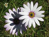 African Daisies (Redcognito) Tags: flowers africandaisy africandaisies daisies daisy purpledaisy purple purpledaisies purpleflowers