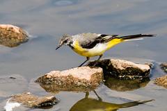 IMG_7794.jpg (TonyJ 3006) Tags: birds greywagtail places slimbridge