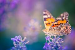 Summer macro (icemanphotos) Tags: macro summer lavender butterfly solitude meadow dreamy canon