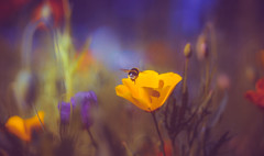 The bond (Dhina A) Tags: sony a7rii ilce7rm2 a7r2 a7r malik triolam 100mm f29 france anastigmat 29 maliktriolamfranceanastigmat100mmf29 slide projection projector lens french flower bee bumble bumblebee nature garden bond