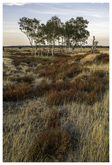 Burnt Heathland (P_Hibon) Tags: belgium kalmthout kalmthoutseheide bomen bos brown bruin heathland heide landscape landschap trees belgië purple pp paars