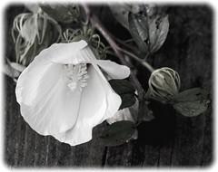 Fallen (JB_Atlanta) Tags: augusta augustaga flower georgia nature phinizyswampnaturecenter texture unitedstates us