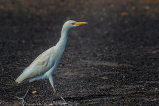 Cattle Egret - (Bubulcus ibis) - 'Z' for zoom