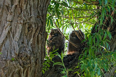 great horned owlets (Mel Diotte) Tags: great horned owl owlet pair feathers raptor hunter mel diotte explore nature wild