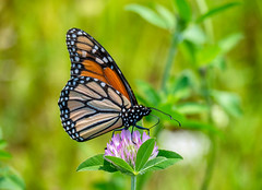 Monarch (Dave_Bradley) Tags: monarch outdoor nature lepidoptera olympus em5 pennsylvania usa
