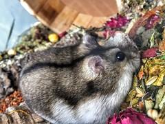 My little friend, Turbo! (citroenbxpower) Tags: littlefriend animals hamsterlove hamsterscape hamsterscaping hamster turbo photoshoot photography