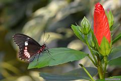 Voilier Iphidamas Papillon exotique (Jourdheuil Clément) Tags: butterfly papillon exotique nikon7100 offemont france voilieriphidamas nikon85mm fleurrouge insecte flou bokeh nature clémentjourdheuil papillonexotique
