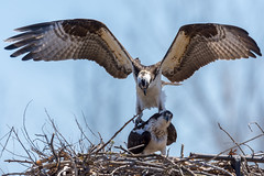 Ospreys working on next generation in Iroquois, Ontario (miro_mtl) Tags: balbuzardpêcheur d7200 iroquois nikon nikond7200 ontario outdoors pandionhaliaetus america amerique animals balbuzard bird birdofprey canada claws eating feathers fish fishing flight liberty nature nest oiseau oiseaudeproie osprey raptor sky toes wildlife wings