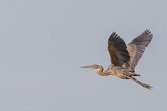 Purple heron (BenBoda) Tags: wildlife nature animal birds birdphotography purple heron summer