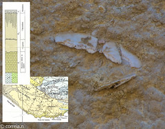 Clypeaster (Miocénico) Geologia (correia.nuno1) Tags: vermelho geologia geology geologie fossil clypeaster equinodermer miocénico baciadoalgarve algarve baciaalgarvia
