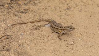 Coastal Range Fence Lizard