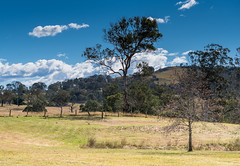 Out in the Country (Merrillie) Tags: landscape gumtree australia rural hill newsouthwales countryside country scenery tree cows acreage afternoon gresford farm trees property