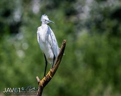 Little egret-Egretta garzetta-7566 (George Vittman) Tags: bird egret heron marsh lake water posing nikonpassion wildlifephotography jav61photography jav61