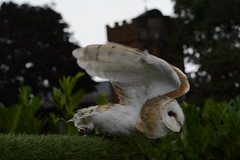 Take Flight (Clint__Budd) Tags: owl barnowl chester chestercathedral