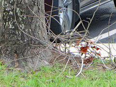 Stick Pile. (dccradio) Tags: lumberton nc northcarolina robesoncounty outdoor outside outdoors nature natural sunday afternoon summer summertime august car toyota tire parkinglot parking whiteline sidewalk concrete grass lawn greenery yard yardwaste stick sticks leaf leaves branch branches treetrunk bark vehicle canon powershot elph 520hs